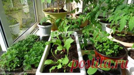 Выбор и выращивание пряных трав на подоконнике в домашних условиях зимой.