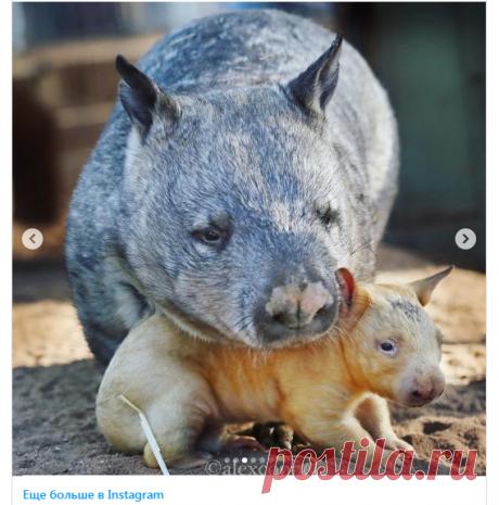 В зоопарке Австралии на свет появился необычный желтый вомбат - Новости Mail.ru