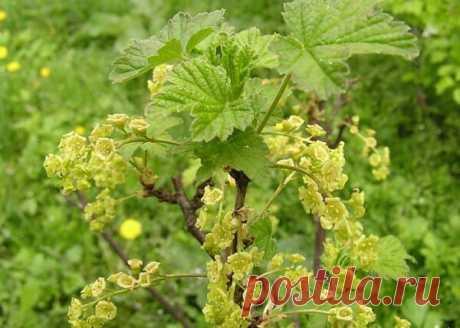 Листья смородины: полезные свойства и противопоказания, лечебные свойства