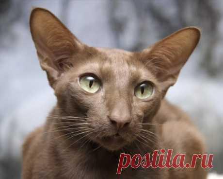 Яванез - это очень умная и общительная порода кошек. Считается одной из лучших пород для семей с детьми.