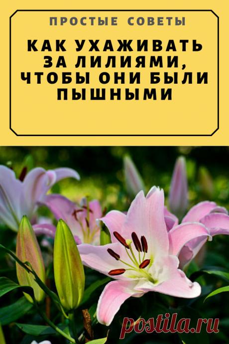 КАК УХАЖИВАТЬ ЗА ЛИЛИЯМИ, ЧТОБЫ ОНИ БЫЛИ ПЫШНЫМИ — Простые советы