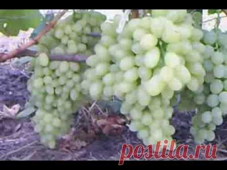 Виноград к-ш Столетие - YouTube