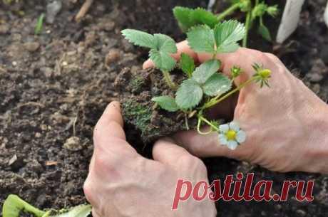 Как увеличить урожай клубники в два раза – секреты садоводов | Земляника (Огород.ru)