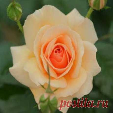Посадка роз осенью с открытой корневой системой в открытый грунт Посадка роз осенью с открытой корневой системой в грунт проводится по особым правилам. Каким именно - читайте в нашей статье.