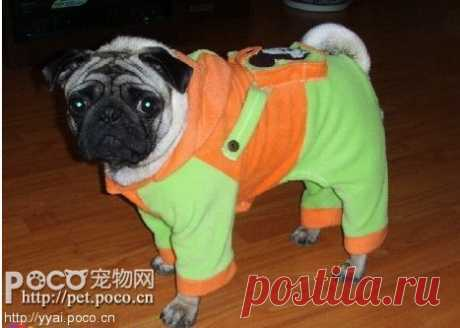 комбинезон на мопса - modapess -модная собачка