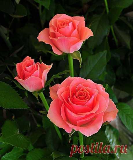 Источают розы, в дивном цвете, Аромат божественный в саду, А заря лениво, на рассвете, Их уста лобзает на виду.  Чудный запах в зарослях кочуя, Над красой пленительно кружит. Стайка пчёл нектар желанный чуя, Над цветами радостно жужжит.  Добрый день Друзья!!!