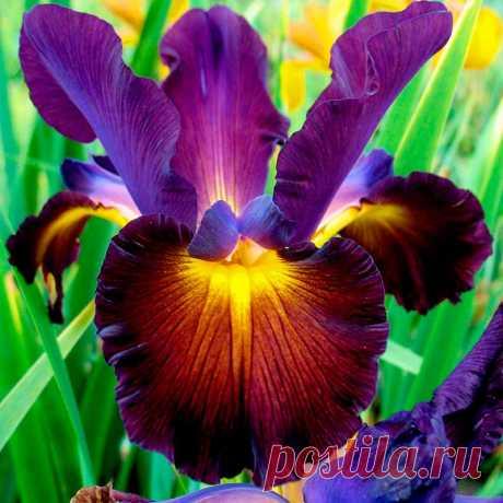 Многолетний садовый цветок Ирис (Iris). Корневищный многолетник с мечевидными или узколинейными прямыми или изогнутыми листьями; высокими прямыми ветвистыми цветоносами. Цветки одиночные или собраны в рыхлые соцветия, крупные, диаметром до 10 см, разнообразной окраски, часто двухцветные, некоторые душистые. Цветет в первой половине лета, реже - весной.  Основные виды. К бородатым ирисам относятся формы со специфическими щетинистыми выростами-бородками на наружных лепестках.
