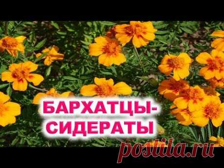 Бархатцы  ценные сидераты, красивые цветы, зеленое удобрение, хорошие соседи для бахчи, полезные чаи