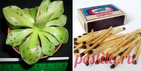 Для чего втыкать спички в горшки с комнатными растениями