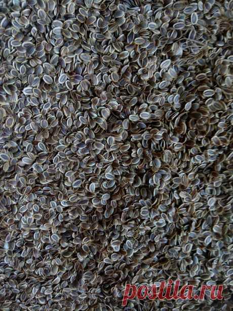 Семена укропа обладают лечебными свойствами. Они должны быть всегда под рукой   bigsovet   Яндекс Дзен