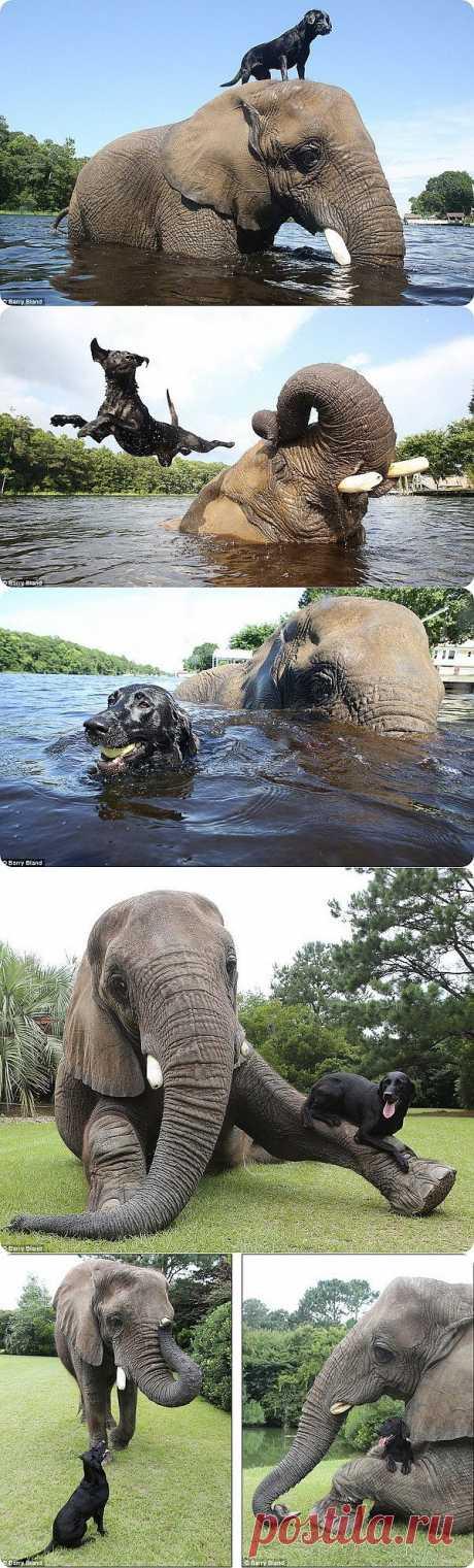 Дружба между лабрадором и слоном | ZooPicture.ru