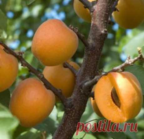 Обрезка абрикоса осенью, весной и летом, схема, видео Учитывая особенность абрикоса сохранять все завязи, дерево нуждается в ежегодной обрезке. Осенью и весной формируют крону и омолаживают дерево. Необходима обрезка абрикосу и летом.