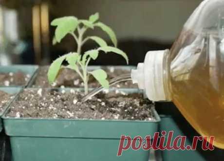 ИЕЩЁ РАЗ ПРО ЙОД!   Рассаду помидоров поливают раствором йода для более быстрого роста (1 капля на три литра). После применения этого раствора рассада зацветёт быстрее, а плоды будут крупнее.  Раствор для опрыскивания:  На 10 литров воды добавить литр молока и 15 капель йода. Получившимся раствором обильно опрыскивать помидоры (так, чтобы с кустов текло).  Может йод защитить помидоры и от фитофторы.  Для этого Вам понадобятся несколько капель йода и 250 грамм молока, смешайте их с 1 литр