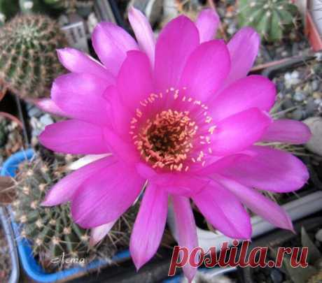 Кактус - форум -> Галерея -> Просмотр изображения -> Echinopsis carmineoflora