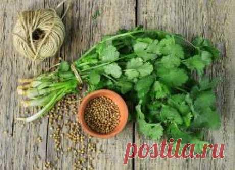 Kinza: la utilidad y el daño, que es útil para el organismo de las mujeres, la verdura para el descenso del peso, las propiedades medicinales y las contraindicaciones, el vídeo