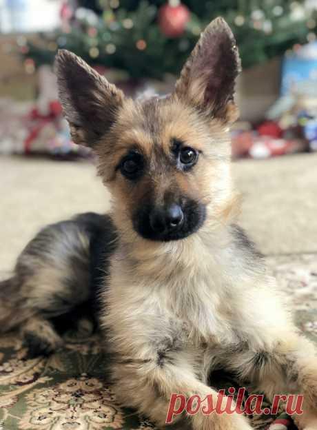 5 фото особенной немецкой овчарки, которая выглядит, как щенок несмотря на возраст