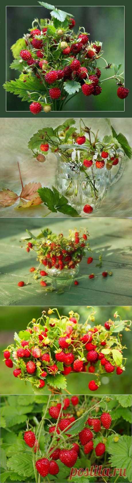 Земляничный натюрморт. Запах ароматной земляники Летним днем встречает нас в лесу. И пьянит восторгом нежно-диким, Впитываясь в кроткую росу.  И.Мордвина