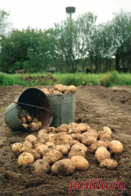 Выращиваем ведро картошки с квадратного метра.