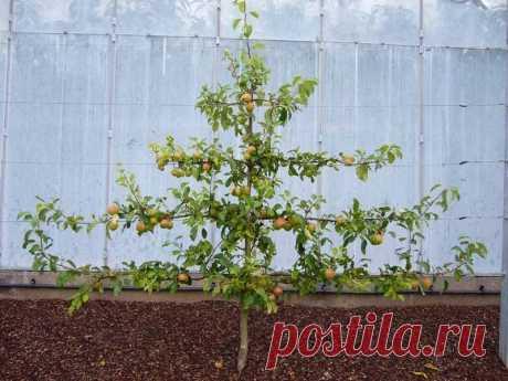 Как правильно делать обрезку плодовых деревьев? | 6 соток