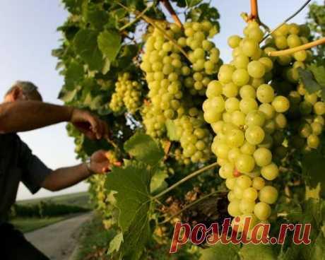 Пять правил выращивания хорошего винограда —