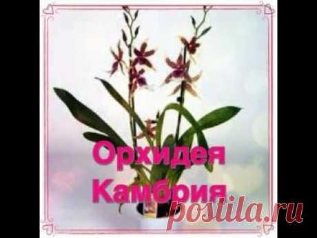 Орхидея камбрия: описание, уход, пересадка, видео размножения в домашних условиях, борьба с болезнями