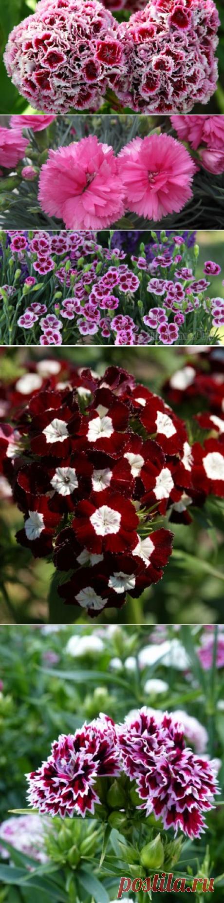 Гвоздика садовая: популярные виды и сорта