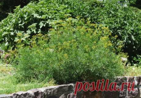 Рута: посадка и уход, выращивание руты садовой