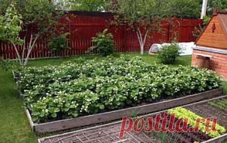 Как выращивать клубнику. Способы посадки и этапы развития | Дача - впрок