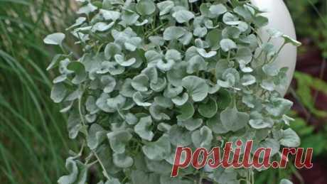«Серебристый водопад» в Вашем саду. Дихондра - выращивание из семян - Яндекс.Видео