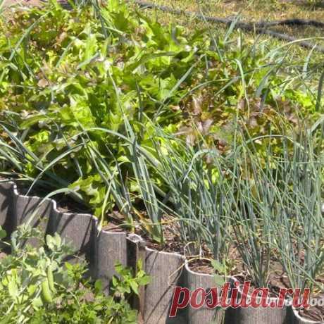 Зелёный лук круглый год