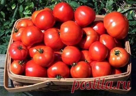 Урожай помидор вас порадует