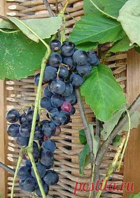 При выращивании винограда необходимо производить правильную обрезку лозы.