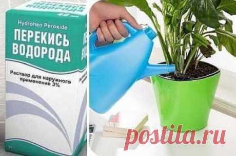 Перекись водорода: средство помогает с травмами и людям, и растениям