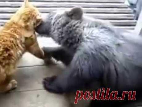 Прикол кот бьёт медведя.