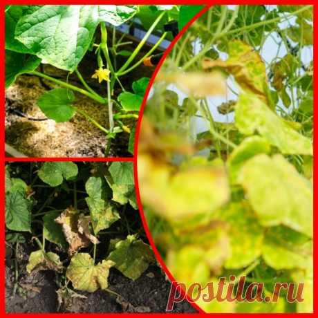 Почему желтеет листва на огурцах и как с этим бороться   Огородные шпаргалки   Яндекс Дзен