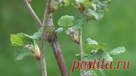 Схема обработки смородины от болезней и вредителей с весны до осени