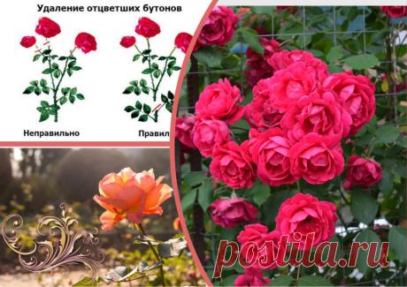 Моим розам завидуют соседи. Что я делаю с кустами после цветения (сентябрь) из года в год | Секреты сада и дачи | Яндекс Дзен