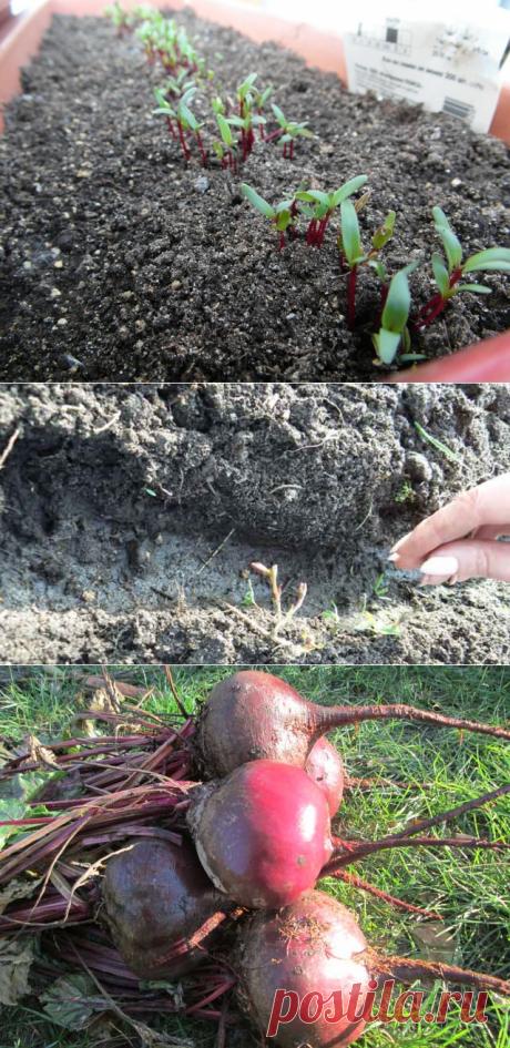 Посадка свеклы семенами в открытый грунт: схема