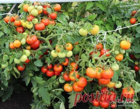 «Непас» - значит непасынкующийся! Неприхотливые томаты для открытого грунта и пленочных укрытий - Ботаничка.ru
