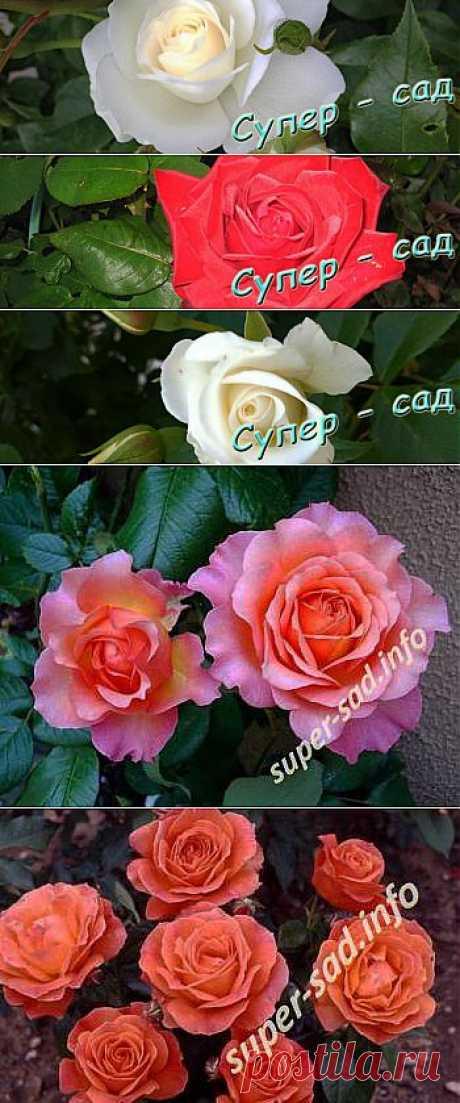 Основные сорта роз флорибунда | Супер сад
