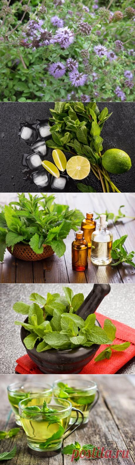 14 причин посадить мяту на своем участке | Полезно (Огород.ru)