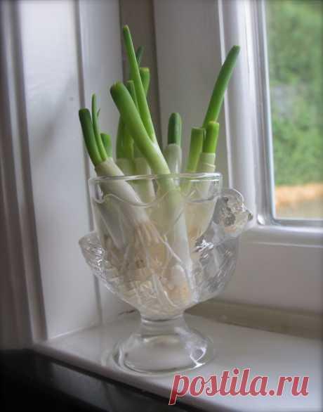 Как пожизненно обеспечить себя зеленым луком! Вот он — секрет, за который можно многое отдать…