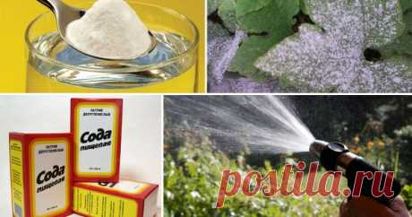 Как защитить растения от болезней и вредителей с помощью пищевой соды При выращивании овощей и фруктов необязательно тратиться на дорогостоящие химические препараты. Ведь бюджетная пищевая сода отлично подходит для защиты растений от болезней и вредителей. Мы расскажем, как ее правильно использовать.
