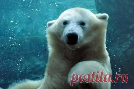 Белые медведи в воде — Чудеса