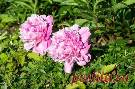 Уход за пионами весной - Огород, сад, балкон - медиаплатформа МирТесен