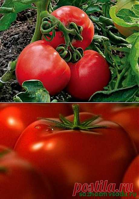 Сорта томатов для засолки и салатов | Азбука садовода