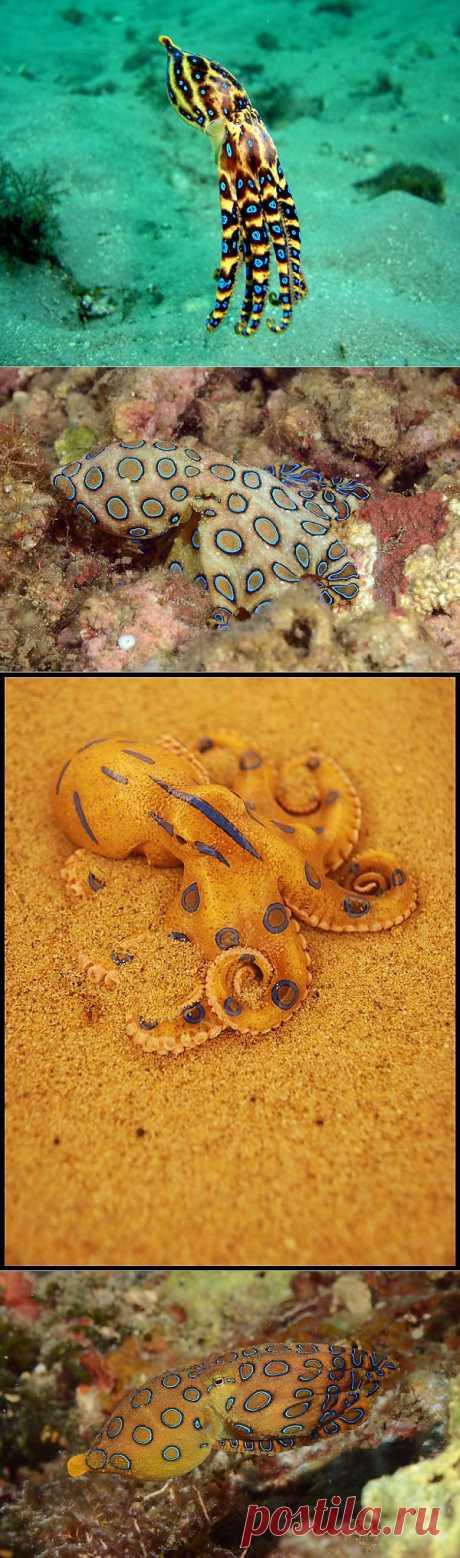 Синекольчатый осьминог-красив и смертельно опасен | В мире интересного