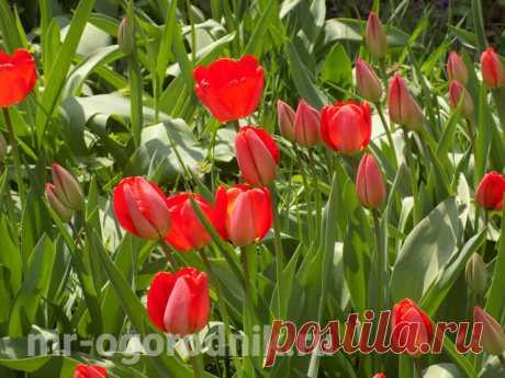 Чем подкормить тюльпаны весной, во время и после цветения Подробные рекомендации о подкормке тюльпанах на всех этапах их развития, начиная с ранней весны и заканчивая цветением. Чем подкормить тюльпаны при выгонке.