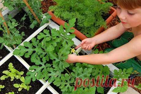 Как посадить и ухаживать за арбузами в открытом грунте