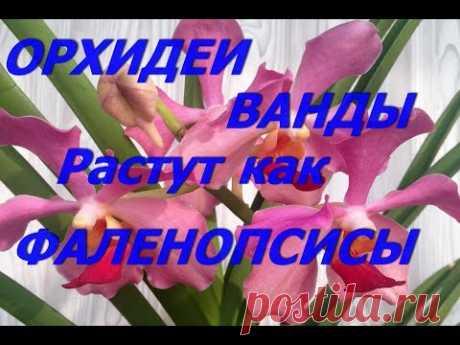 Орхидеи  Ванды растут как фаленопсисы в коре.